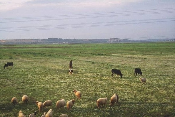 shappard with sheep4