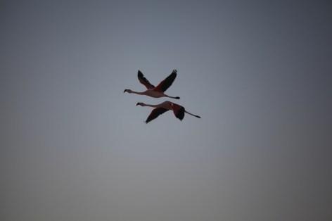 Salar de Atacama paired flamingos