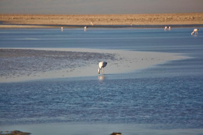 Salar de Atacama feeding