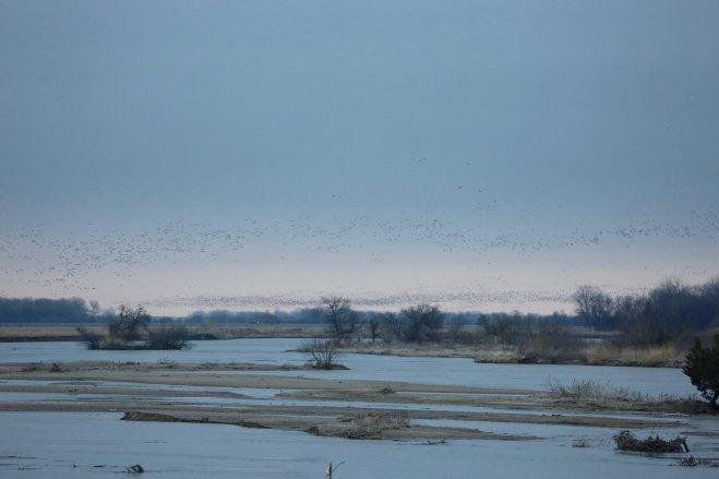 Sandhill cranes on the Platte River landing sunset