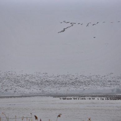 Sandhill cranes on the Platte River flocking