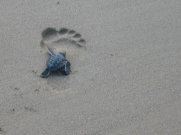 FERNANDO DE NORONHA baby sea turtles