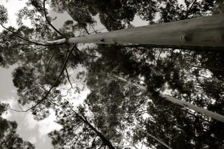 Carmelo tall trees