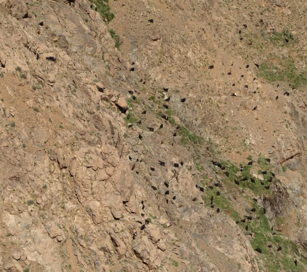 Hiking in the High Atlas goats