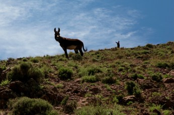 Hiking in the High Atlas wild donkeys