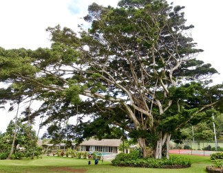 Travaasa Hana huge tree