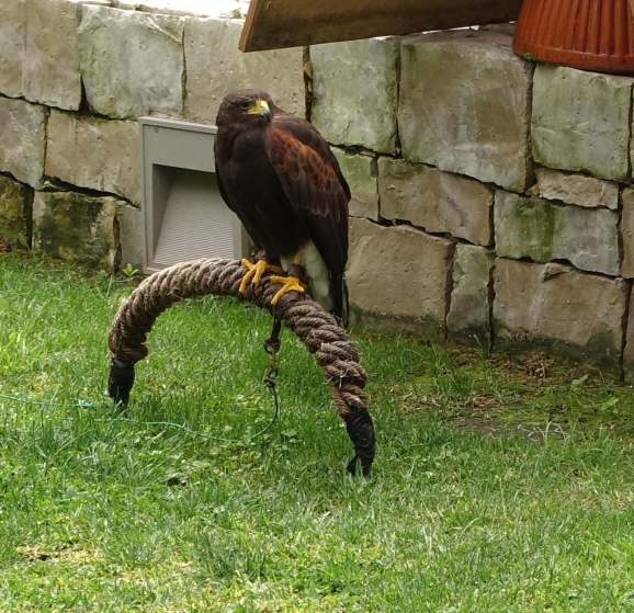 Obidos castle raptor