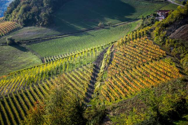 Ginestra closeup of vineyards