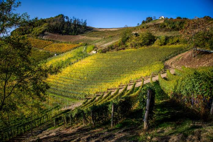 Ginestra vines in sun