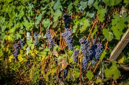 Grapes in sun Monforte