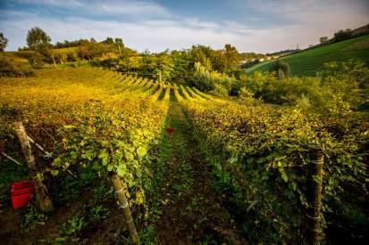 Gasa Gialla vineyards