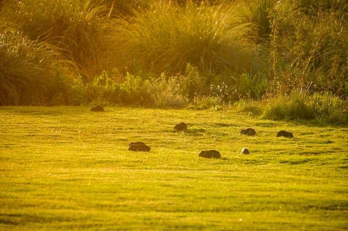 Posada del Faro guinea pigs