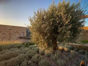 Olive trees Vila Gale Douro