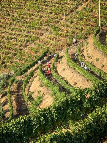 wine harvest Vila Gale Douro