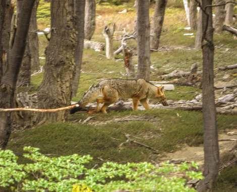 Coyote Torres del Paine