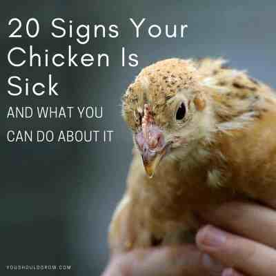 How To Care For A Sick Chicken (Tips From A Chicken Vet)
