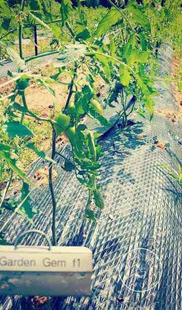 Garden Gem Hybrid (F1) Tomatoes