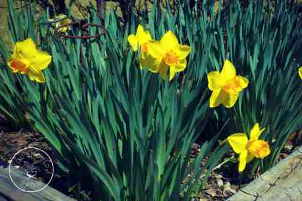Daffodils make an appearance in early spring. Plant the bulbs in early fall. youshouldgrow.com