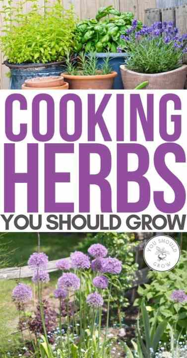 Cooking herbs you should grow pinterest pin