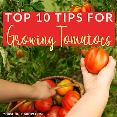 top 10 tips for growing tomatoes text overlaying image of picking tomatoes with basket full of ripe tomatoes
