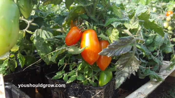 Adorable small heirloom tomato growing in a 4 inch plastic pot