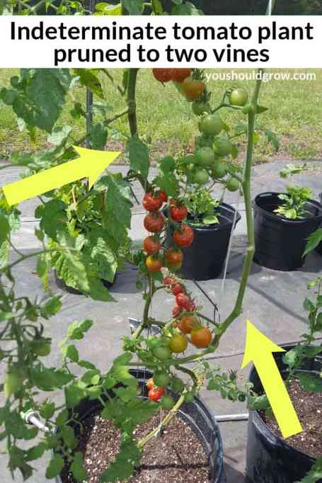 Indeterminate Cherry tomato plant growing in a container with yellow arrows pointing to the two main vines left after pruning.