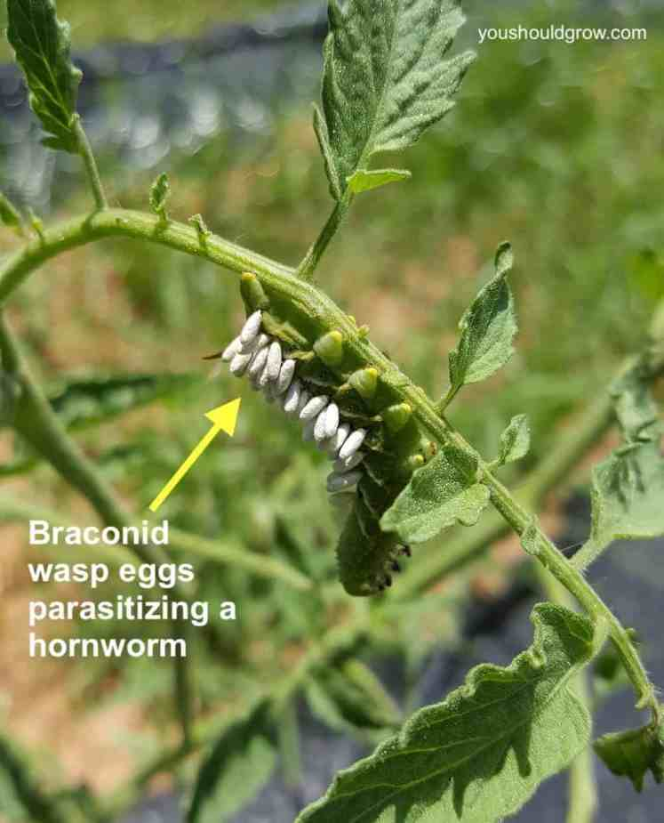 hornworm with braconid wasp eggs