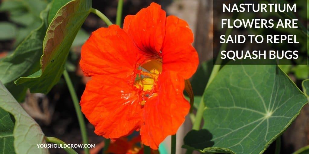 nasturtium flower with text: nasturtium flowers are said to repel squash bugs