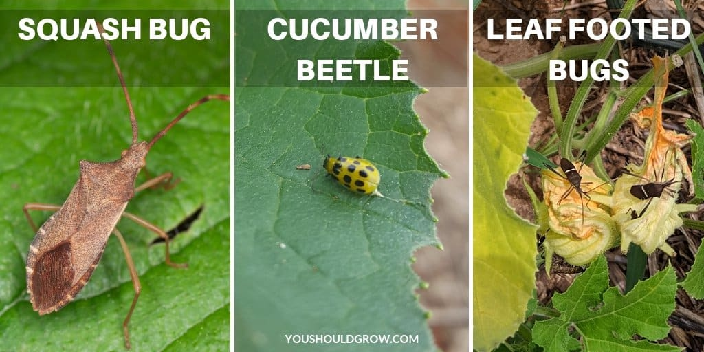 squash bugs vs cucumber beetles vs leaf footed bugs