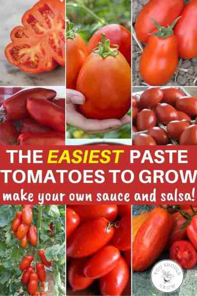 blossom end rot resistant paste tomatoes for canning sauce and salsa