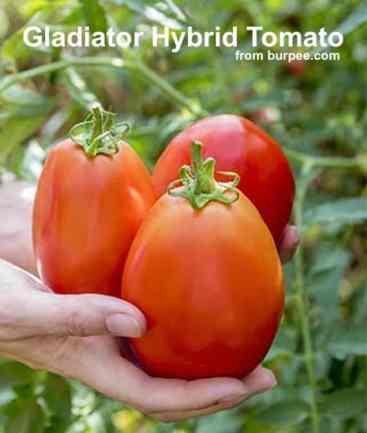 large red gladiator tomatoes in hands of gardener