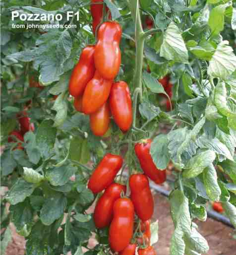 pozzano tomatoes growing on vine