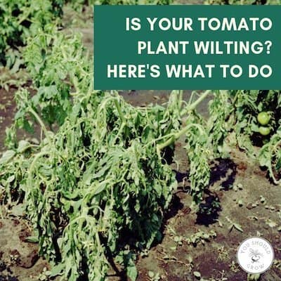 Image of wilted tomato plant with text: is your tomato plant wilting? here's what to do