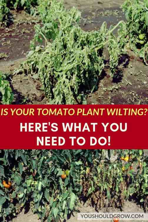 is your tomato plant wilting_ here's what you need to do pinterest pin