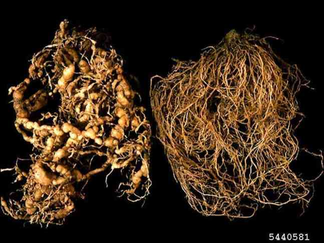 root knot nematode damage on tomato plants