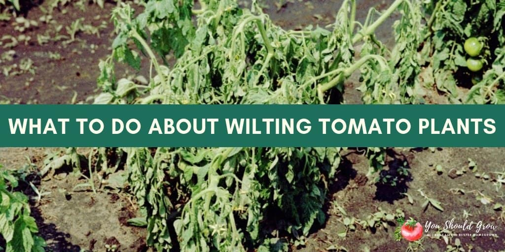 Tomato plant wilting? You need to do this now!   You Should Grow