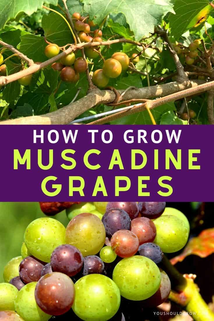 Growing muscadine grapes is easier than you think - nothing beats a vine-picked muscadine!