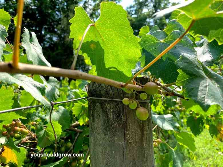 muscadine grape growing on vines bunched together