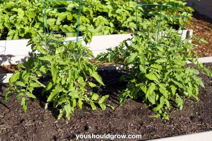 Tomato plants in supports growing outdoors in a sunny raised bed garden in early summer.