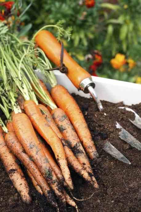 Carrots freshly dug out of a fall garden.