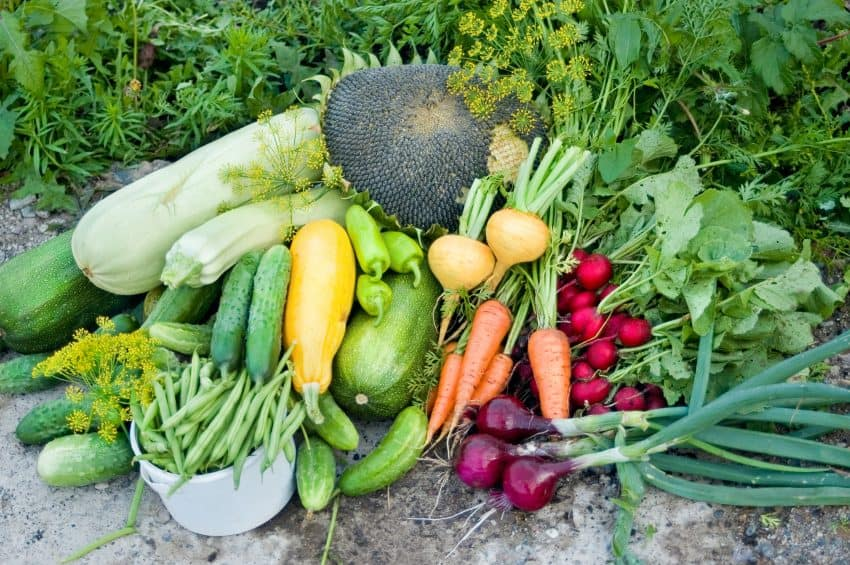 Produce from a fall vegetable garden - turnips, carrots, beets, green beans, cucumber and more