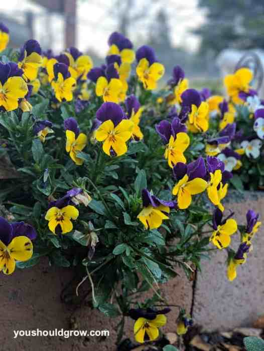 Pretty fall planted pansies topple over the edge of a cement block planter