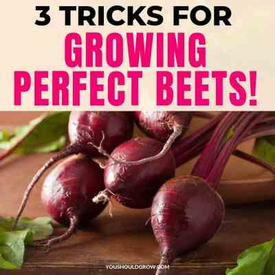 Three Tricks To Growing Perfect Beets