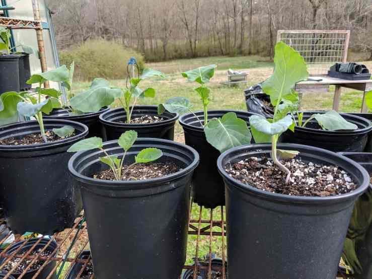 broccoli plants in black pots sitting in sunshine