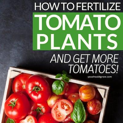 how to fertilize tomato plants and get more tomatoes featured image