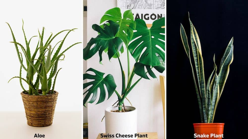 aloe, swiss cheese, snake plant