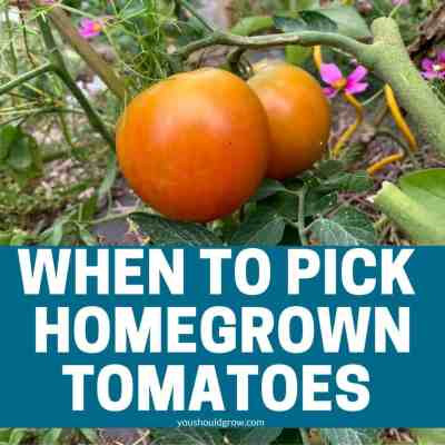 When To Pick Tomatoes And How To Store Them