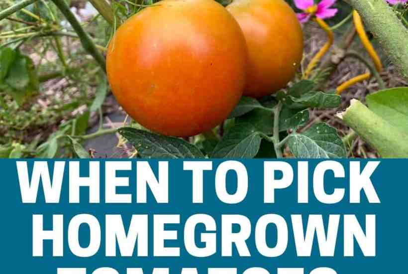 When to pick tomatoes featured image