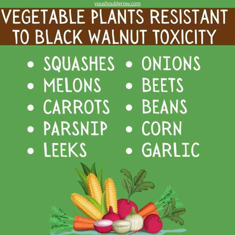 vegetable plants resistant to black walnut toxicity graphic