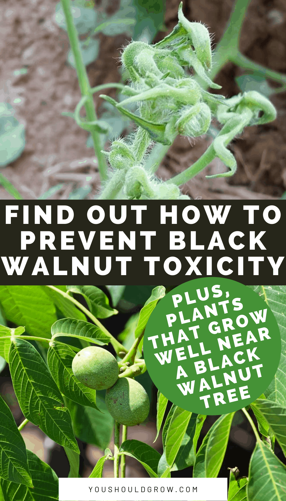 Vegetable gardening near black walnut trees can be disappointing. Black walnut toxicity is a common cause of wilting and death of vegetable plants. Here's what happens and what you can do about it.